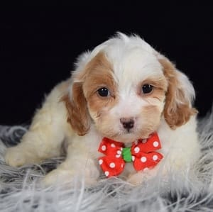cavalier mixed puppies for sale in VA