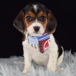 Beaglier puppies for sale in RI