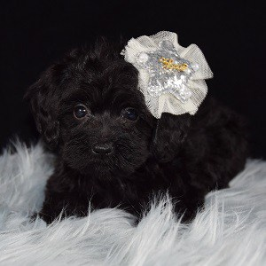 yorkichon puppies for sale in RI