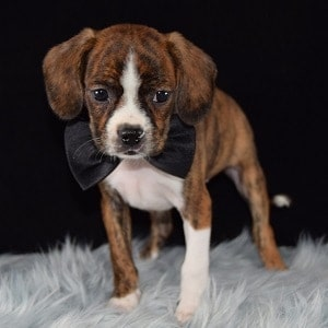 Caviston Puppies for Sale in NJ