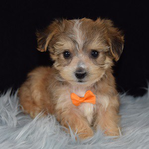 Yorkichon Puppies For Sale In Pa Yorkichon Puppy Adoptions