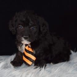 corgipoo puppies for sale in NJ