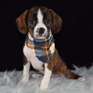 Caviston Puppies for Sale in NY