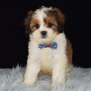 Shihpoo puppies for sale in OH