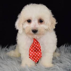 Lhasapoo puppies for sale in PA