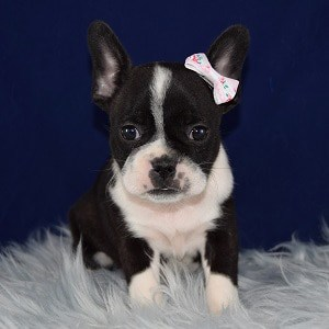 boston mixed puppies for sale in NY