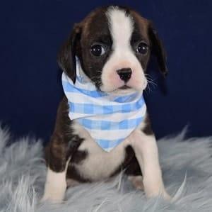 Caviston Puppies for Sale in DE