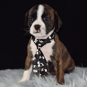 Boston mixed puppies for sale in PA
