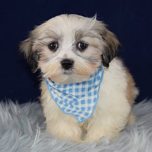 Mal-shi puppies for sale in NY