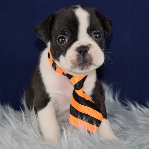 boston mixed puppies for sale in MD