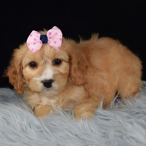 Cavapoo puppies for Sale in WV