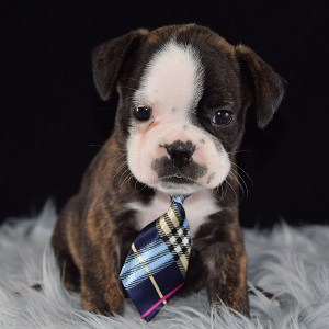 boston mixed puppies for sale in NJ