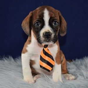 Caviston Puppies for Sale in MD