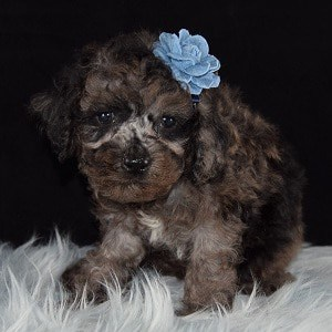 Cockapoo puppies for sale in DE