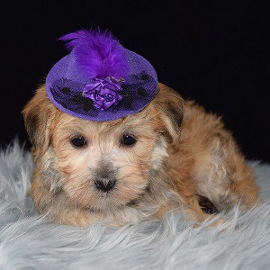 Shih Tzu mix puppies for sale in OH