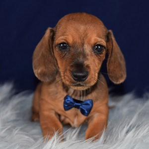 dachshund puppies for sale in PA