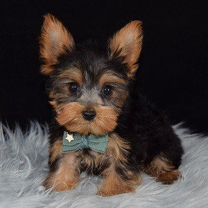 Yorkshire terrier breeders in pa