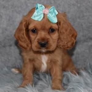 Cocker puppies for sale in NJ