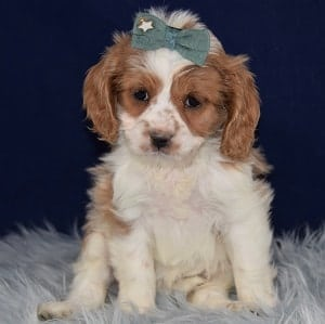 cocker mixed puppies for sale in PA