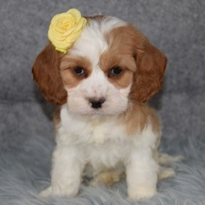 cocker mixed puppies for sale in NY