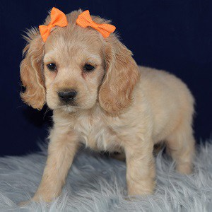 cocker puppies for sale in MD