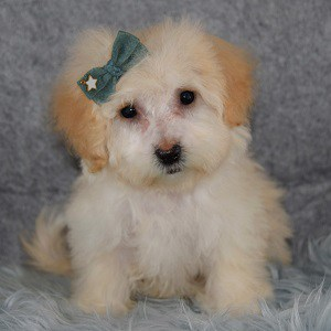 Maltese mix puppies for sale in PA