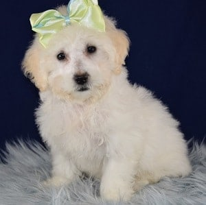 Maltese mix puppies for sale in NY