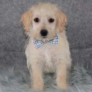 Westiepoo puppies for sale in MD