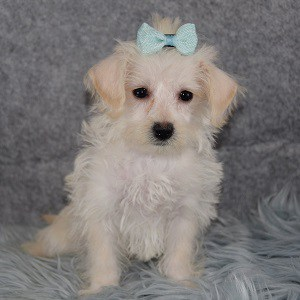 westiepoo puppies for sale in PA