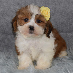 Hava Tzu puppies for sale in NJ