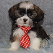 HavaTzu puppies for sale in NY
