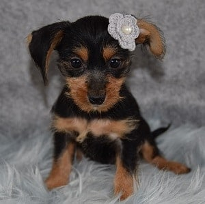 dachshund mixed puppies for sale in NY