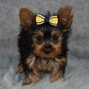 Yorkie puppies for sale in SC