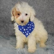 Poodle puppies for sale in MA