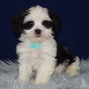 Mal-shi puppies for sale in PA