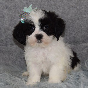 Mal-shi puppies for sale in MD