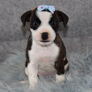 bojack puppies for sale in NY