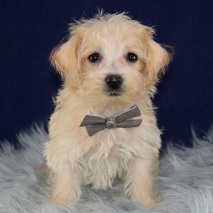 westiepoo puppies for sale inPA