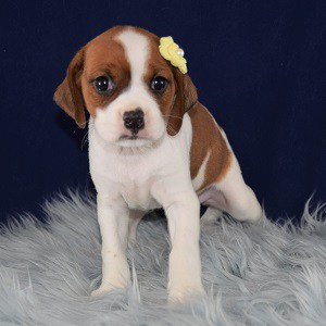 cavalier mixed puppies for sale in NJ