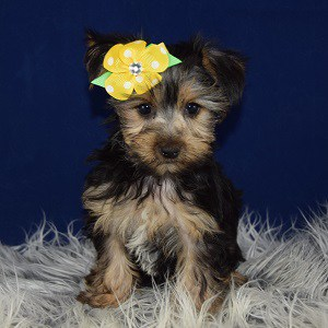 Morkie puppies for sale in VT