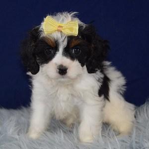 Cavapoo puppies for Sale in DE