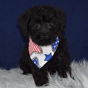 Schnoodle Puppies For Sale In Pa Schnoodle Puppy Adoptions