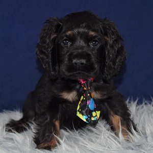 cocker puppies for sale in DE