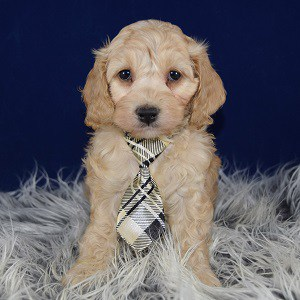 Cockapoo puppies for Sale in Washington DC