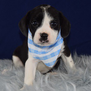Caviston Puppies for Sale in RI