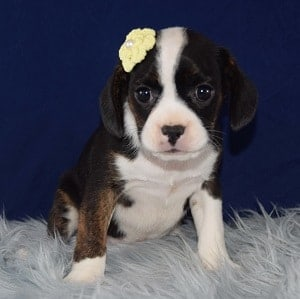 Caviston Puppies for Sale in CT