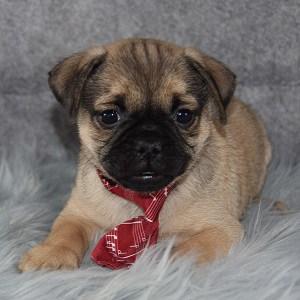 jug puppies for sale in DE