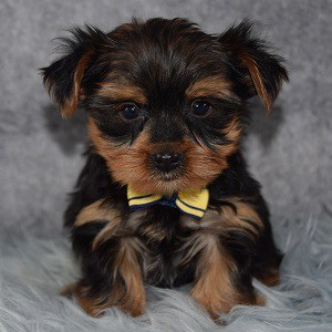 Yorkie Puppies For Sale In Pa Yorkie Puppy Adoptions