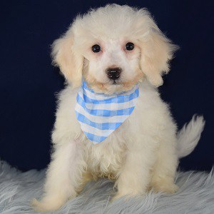Bichon puppies for sale in MD