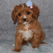Cavapoo puppies for sale in MD